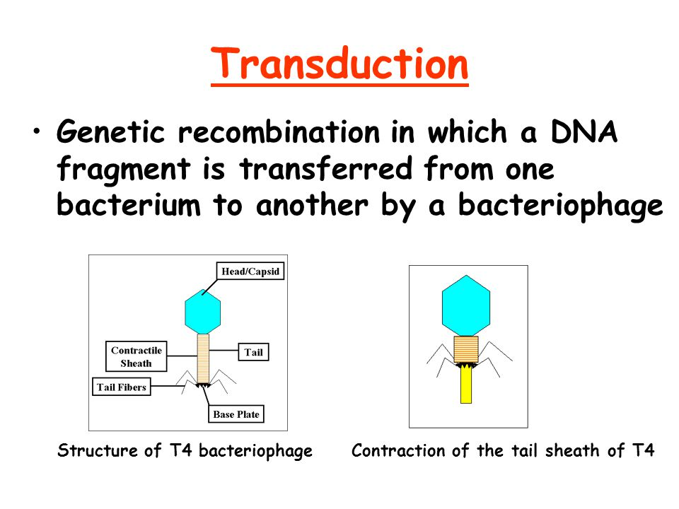 Transduction Genetic recombination in which a DNA fragment is transferred from one bacterium to another by a bacteriophage.