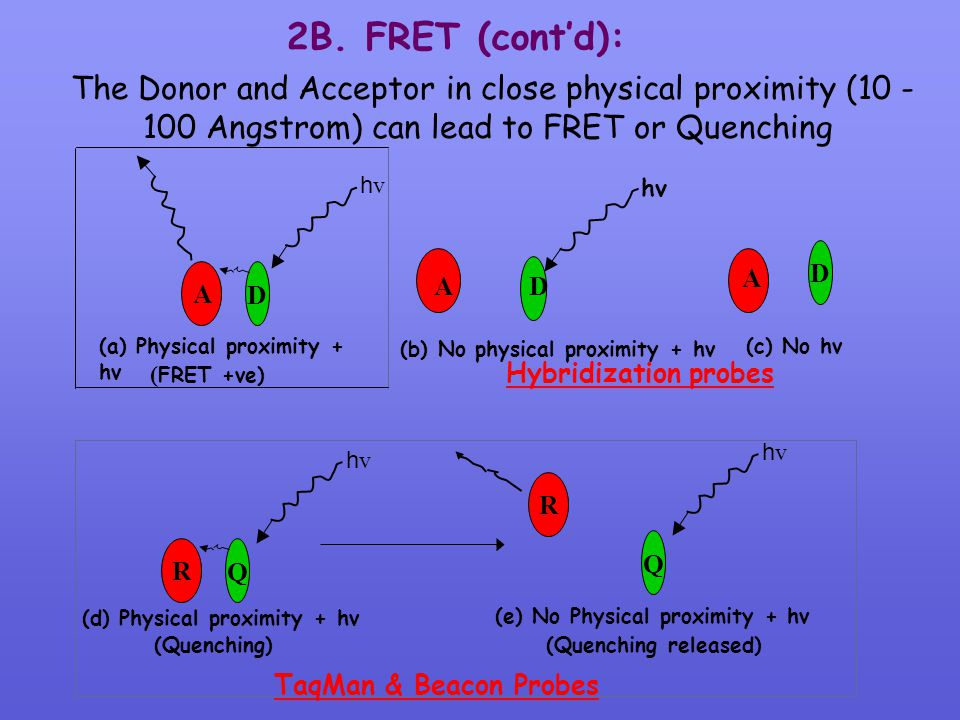 2B. FRET (cont'd): The Donor and Acceptor in close physical proximity (10 -100 Angstrom) can lead to FRET or Quenching.