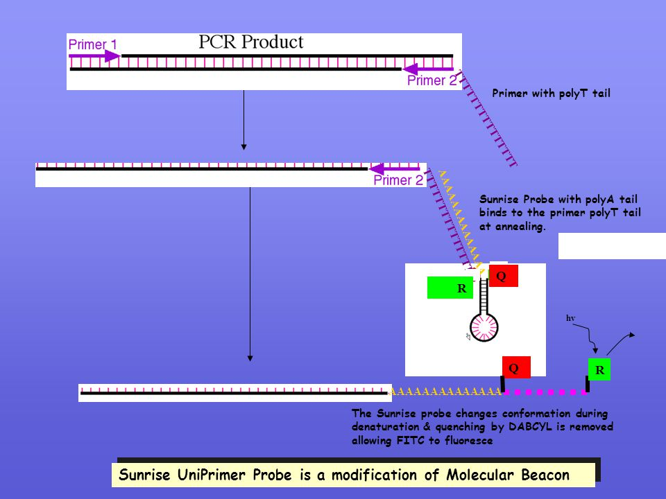 Sunrise UniPrimer Probe is a modification of Molecular Beacon