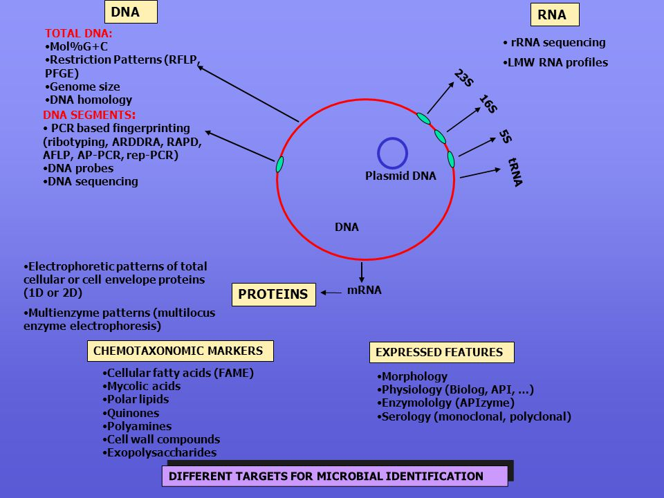 DNA RNA PROTEINS TOTAL DNA: Mol%G+C rRNA sequencing