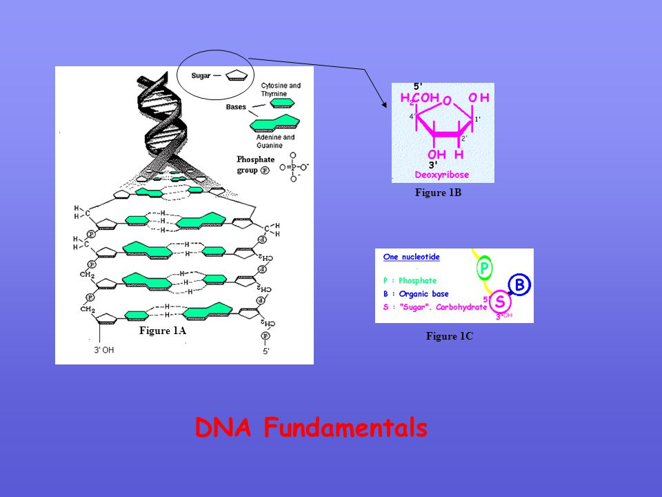 Figure 1B Figure 1A Figure 1C DNA Fundamentals