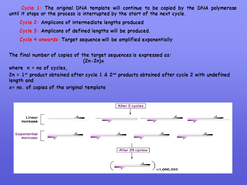 Cycle 1: The original DNA template will continue to be copied by the DNA polymerase until it stops or the process is interrupted by the start of the next cycle.