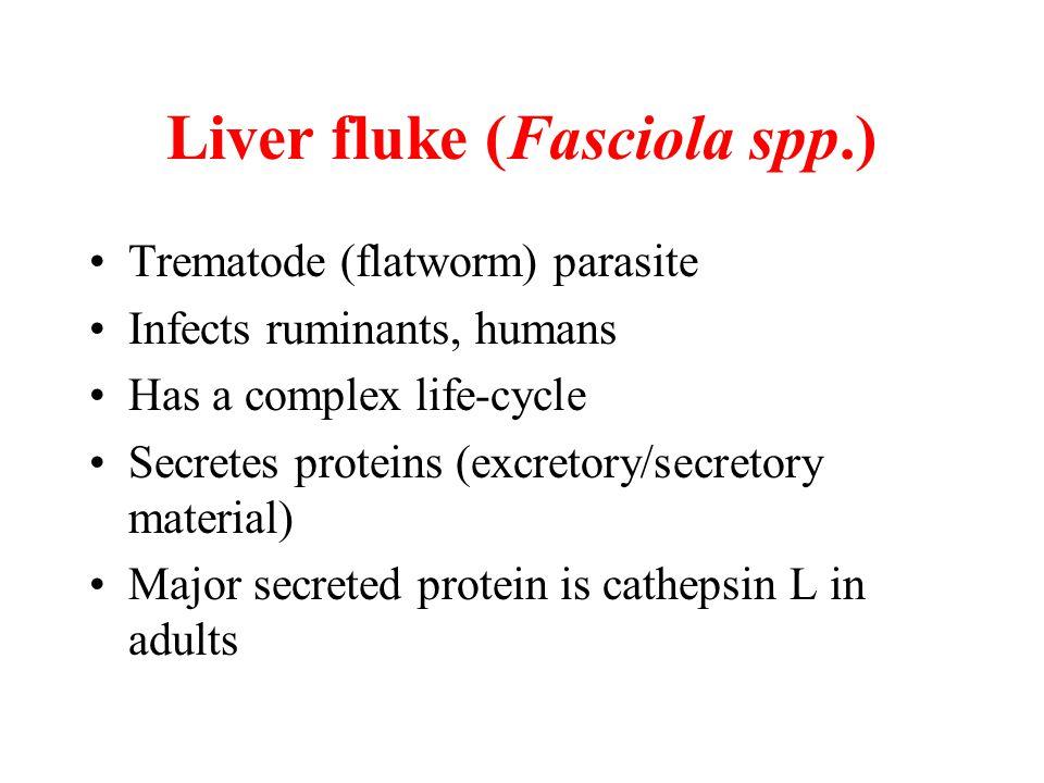 Liver fluke (Fasciola spp.)