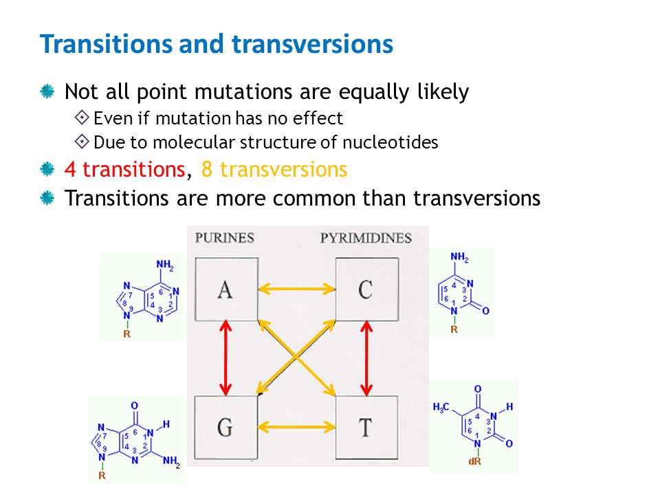 Transitions and transversions