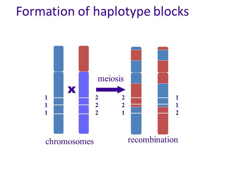 Formation of haplotype blocks