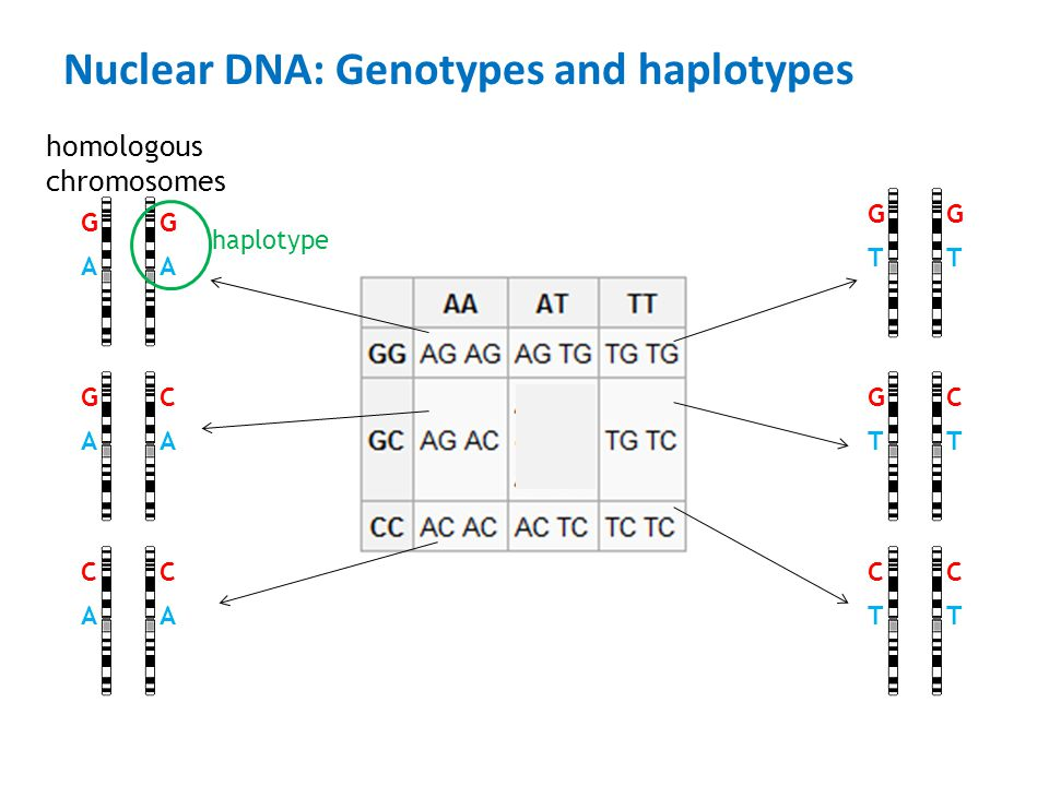 Nuclear DNA: Genotypes and haplotypes