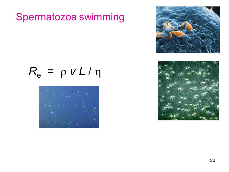 Spermatozoa swimming Re =  v L / 