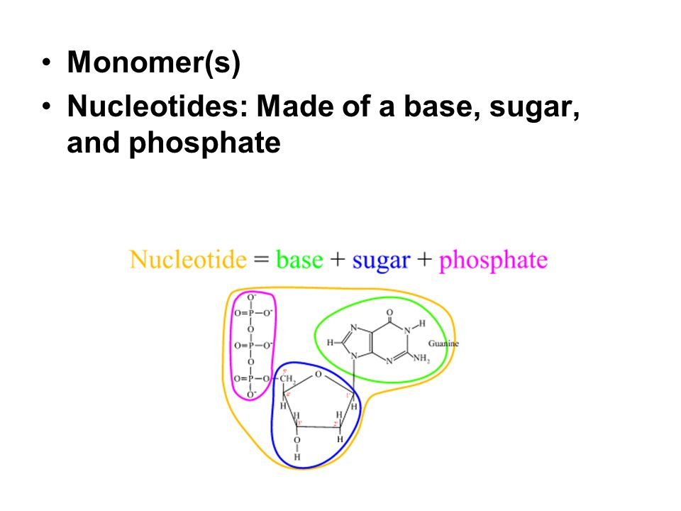 Monomer(s) Nucleotides: Made of a base, sugar, and phosphate