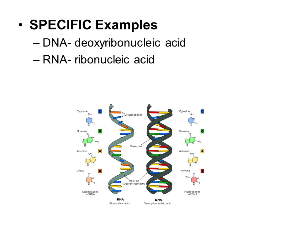 SPECIFIC Examples DNA- deoxyribonucleic acid RNA- ribonucleic acid
