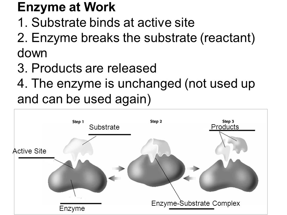 Enzyme at Work 1. Substrate binds at active site 2