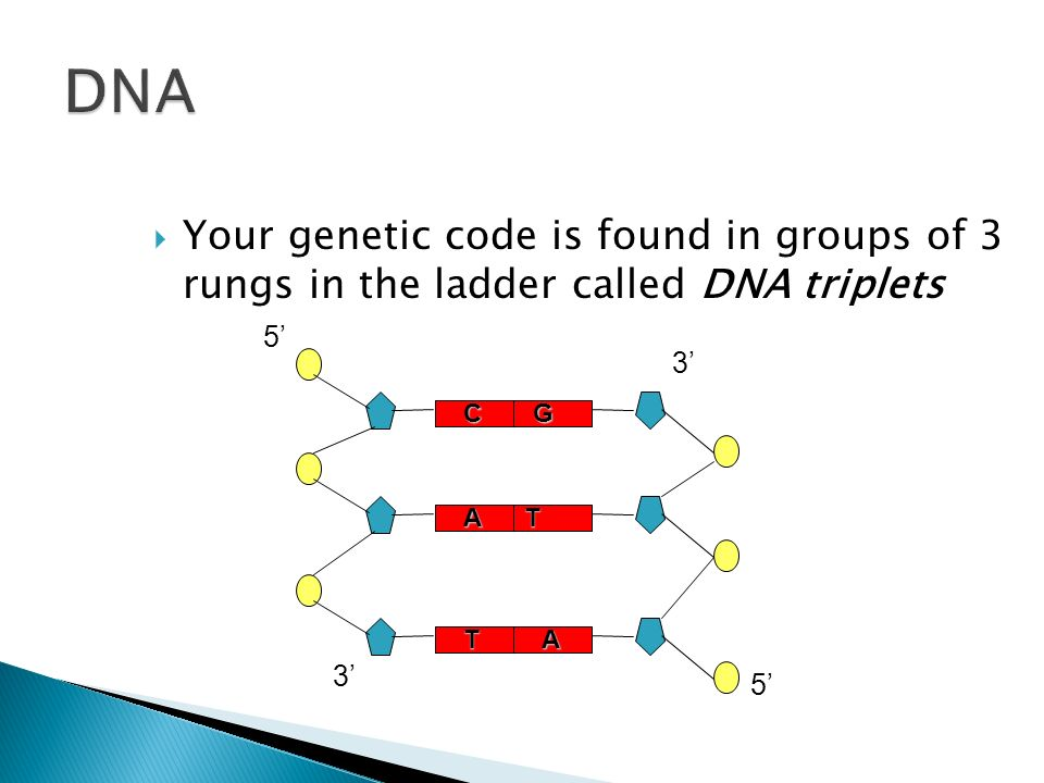DNAYour genetic code is found in groups of 3 rungs in the ladder called DNA triplets. 5' 3' C. G. A.
