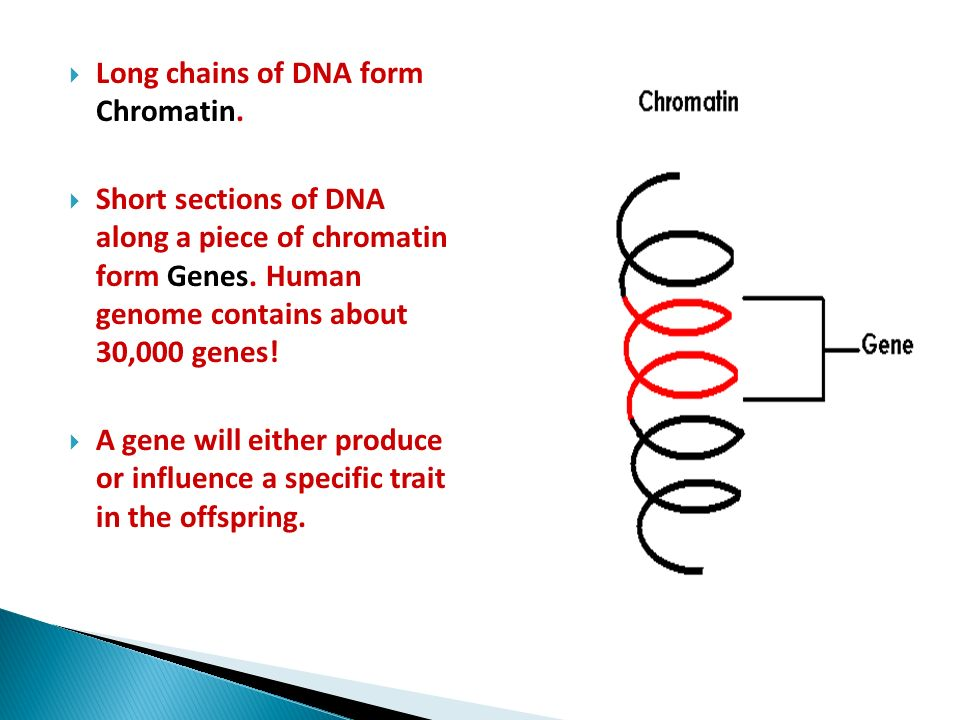 Long chains of DNA form Chromatin.