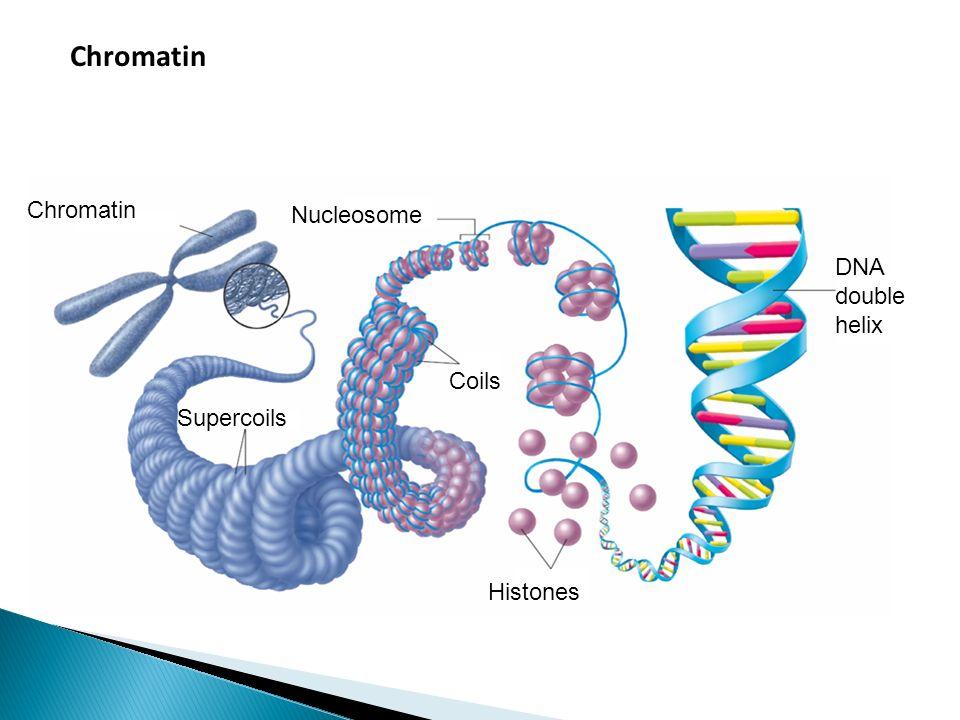 Chromatin Chromatin Nucleosome DNA double helix Coils Supercoils