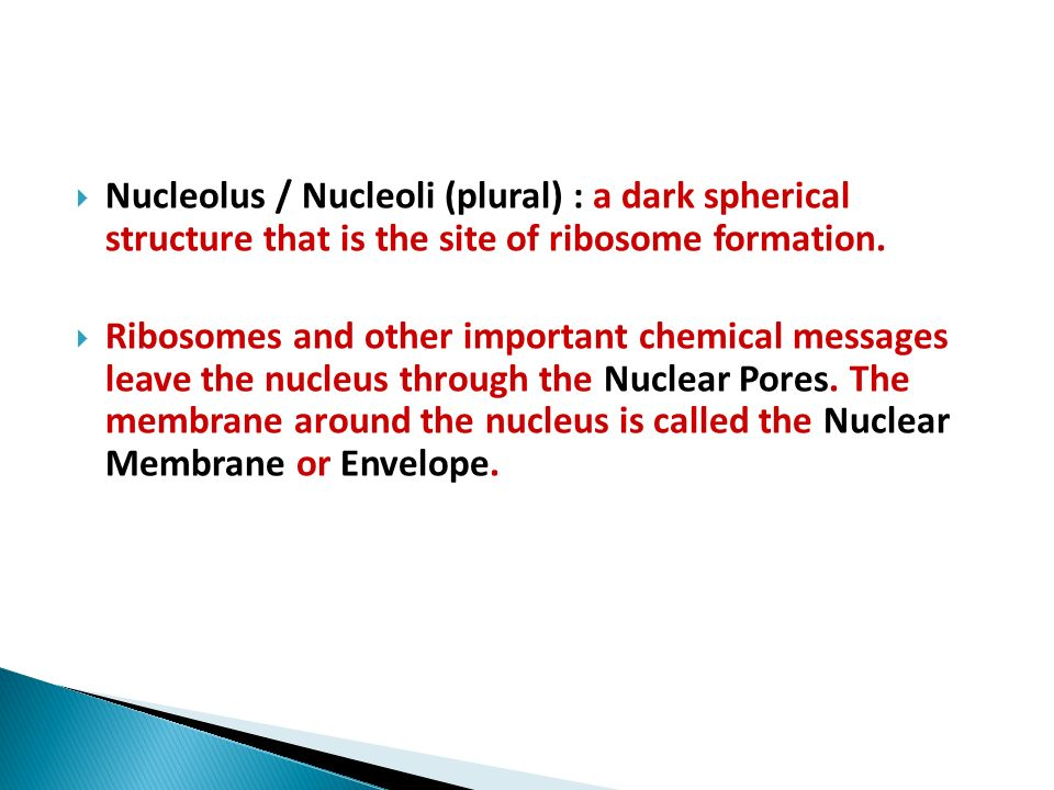 Nucleolus / Nucleoli (plural) : a dark spherical structure that is the site of ribosome formation.