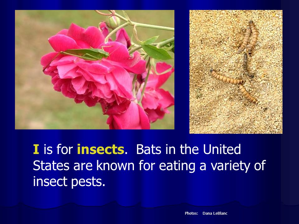 I is for insects. Bats in the United States are known for eating a variety of insect pests.
