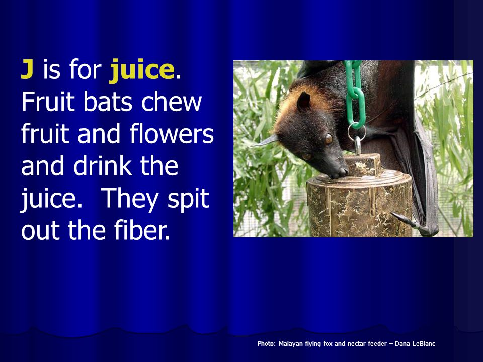 J is for juice. Fruit bats chew fruit and flowers and drink the juice