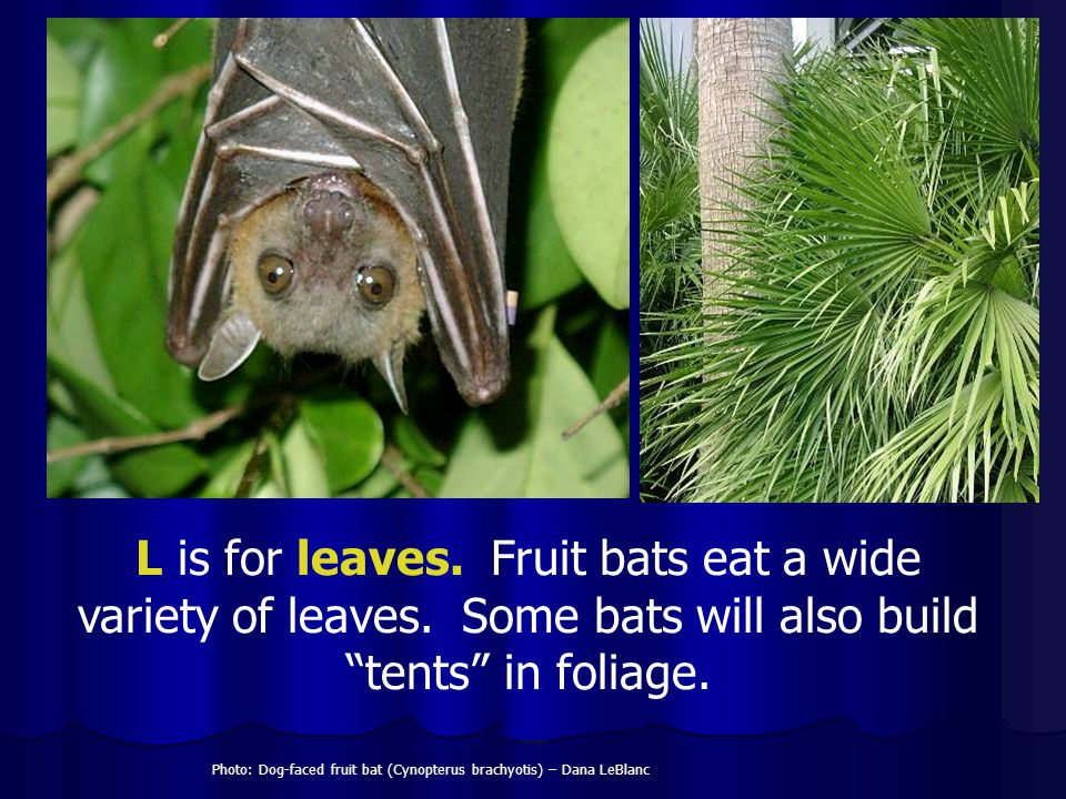 Photo: Dog-faced fruit bat (Cynopterus brachyotis) – Dana LeBlanc