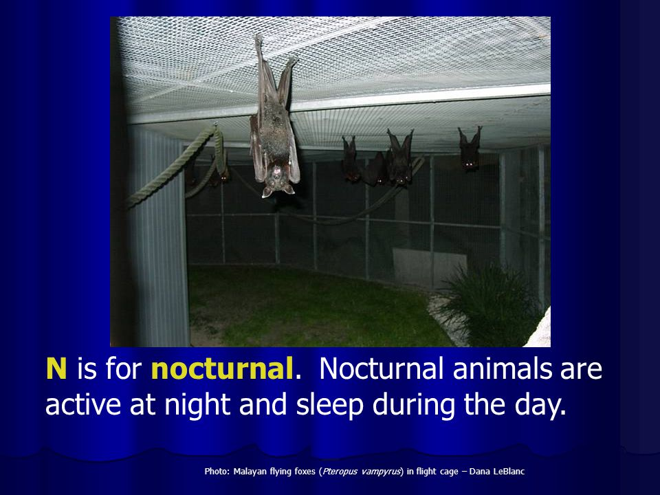 N is for nocturnal. Nocturnal animals are active at night and sleep during the day.