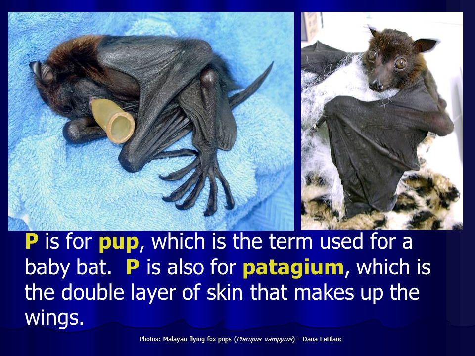 P is for pup, which is the term used for a baby bat