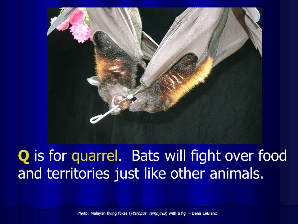 Q is for quarrel. Bats will fight over food and territories just like other animals.