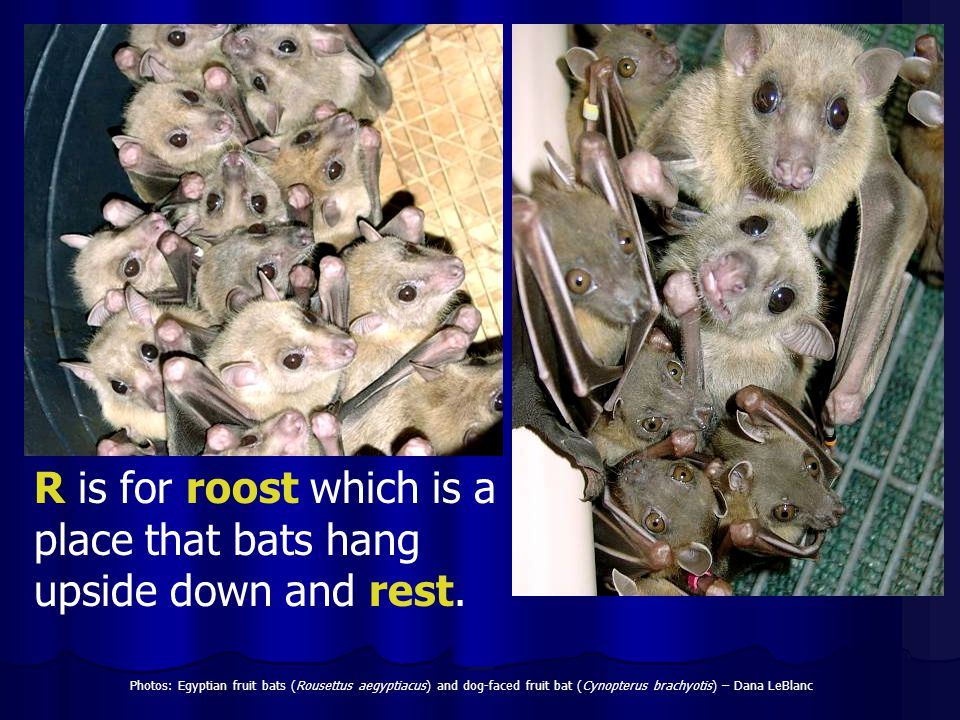 R is for roost which is a place that bats hang upside down and rest.