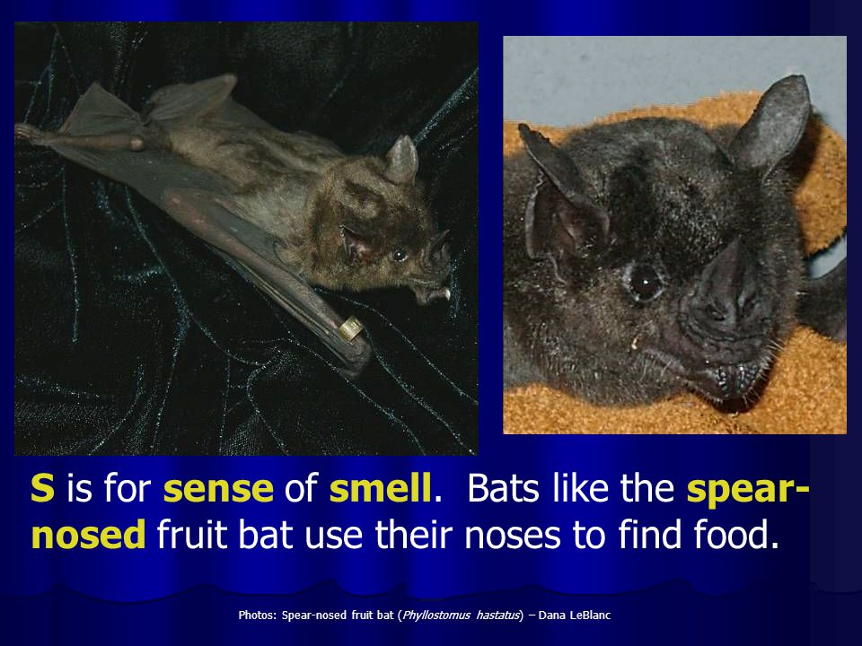 S is for sense of smell. Bats like the spear-nosed fruit bat use their noses to find food.