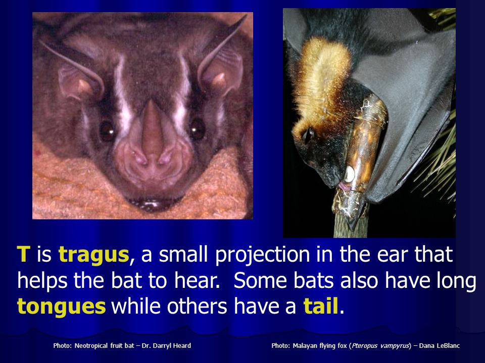 T is tragus, a small projection in the ear that helps the bat to hear