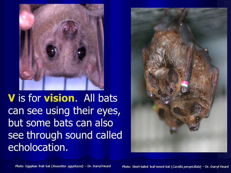 V is for vision. All bats can see using their eyes, but some bats can also see through sound called echolocation.