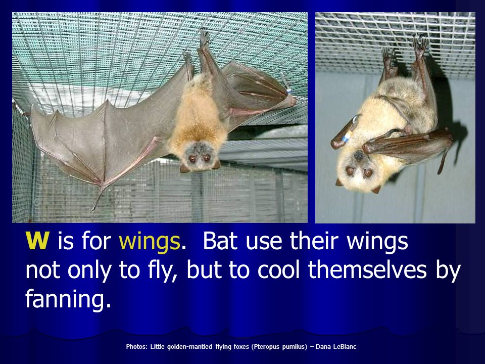 W is for wings. Bat use their wings