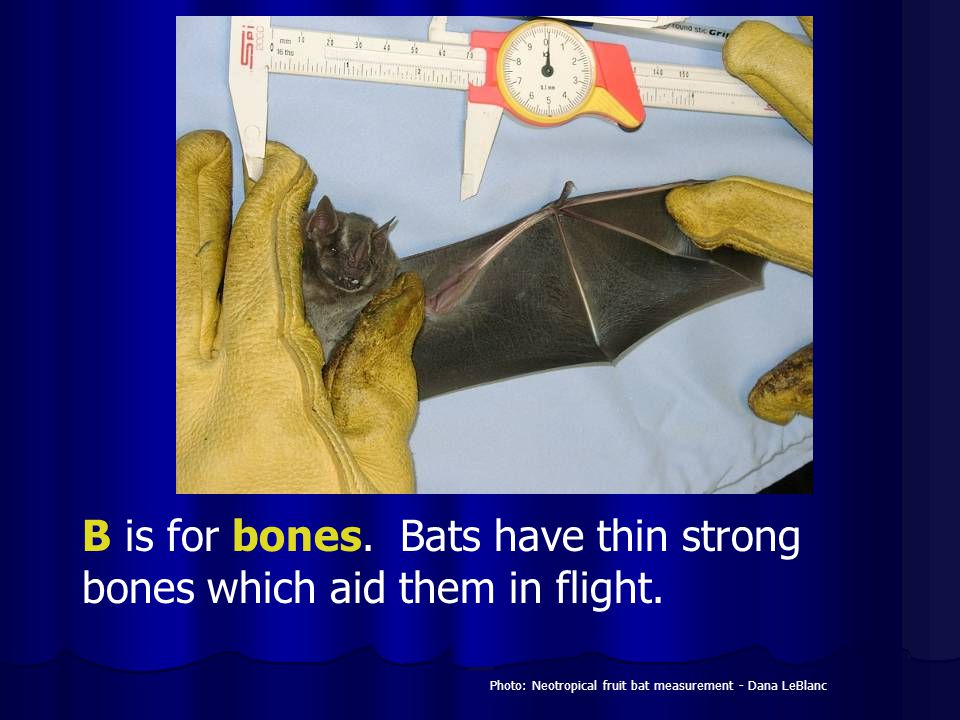 B is for bones. Bats have thin strong bones which aid them in flight.