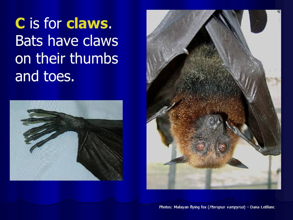 C is for claws. Bats have claws on their thumbs and toes.