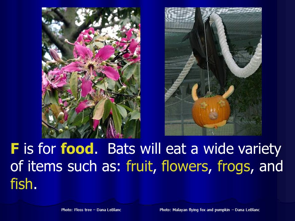 F is for food. Bats will eat a wide variety of items such as: fruit, flowers, frogs, and fish.
