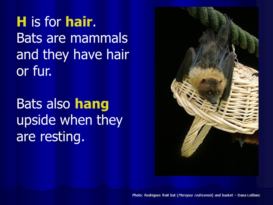 Bats are mammals and they have hair or fur.