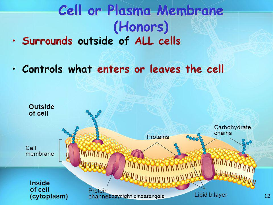 Cell or Plasma Membrane (Honors)