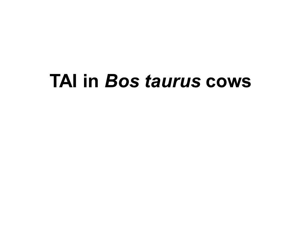 TAI in Bos taurus cows