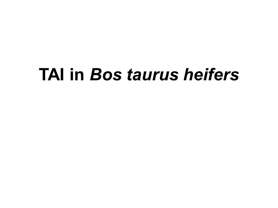 TAI in Bos taurus heifers