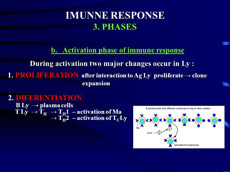 IMUNNE RESPONSE 3. PHASES b. Activation phase of immune response