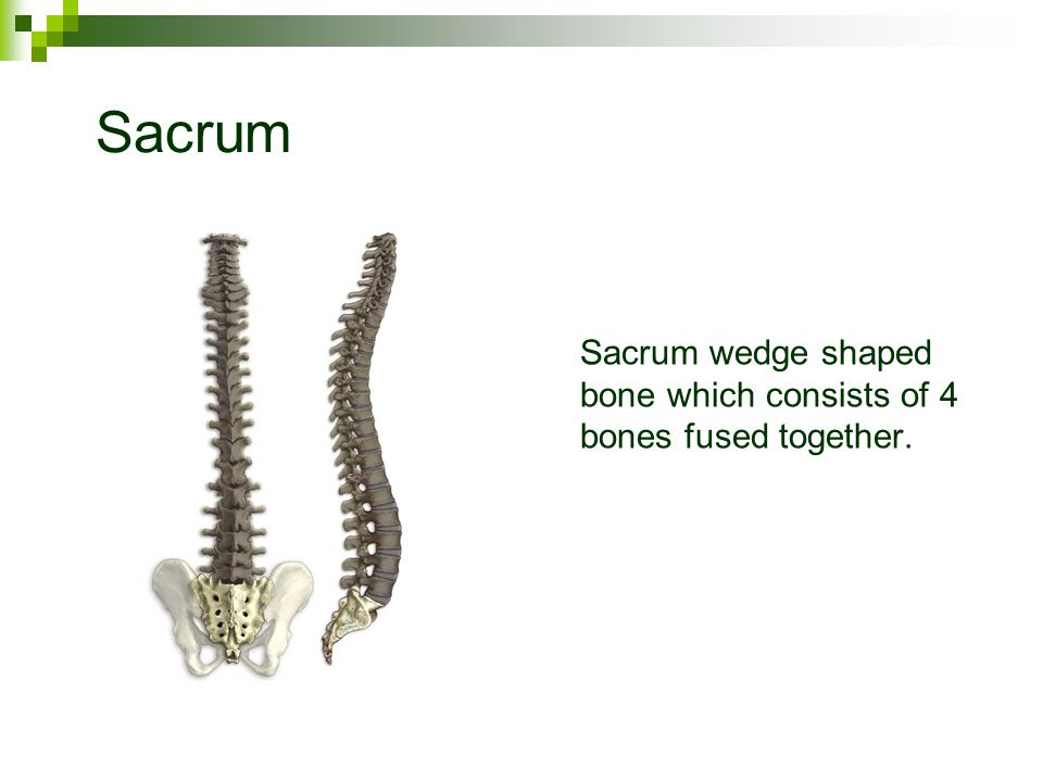 Sacrum Sacrum wedge shaped bone which consists of 4 bones fused together.