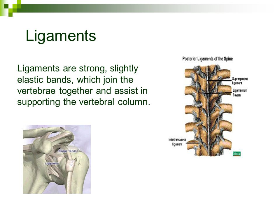 Ligaments Ligaments are strong, slightly elastic bands, which join the vertebrae together and assist in supporting the vertebral column.