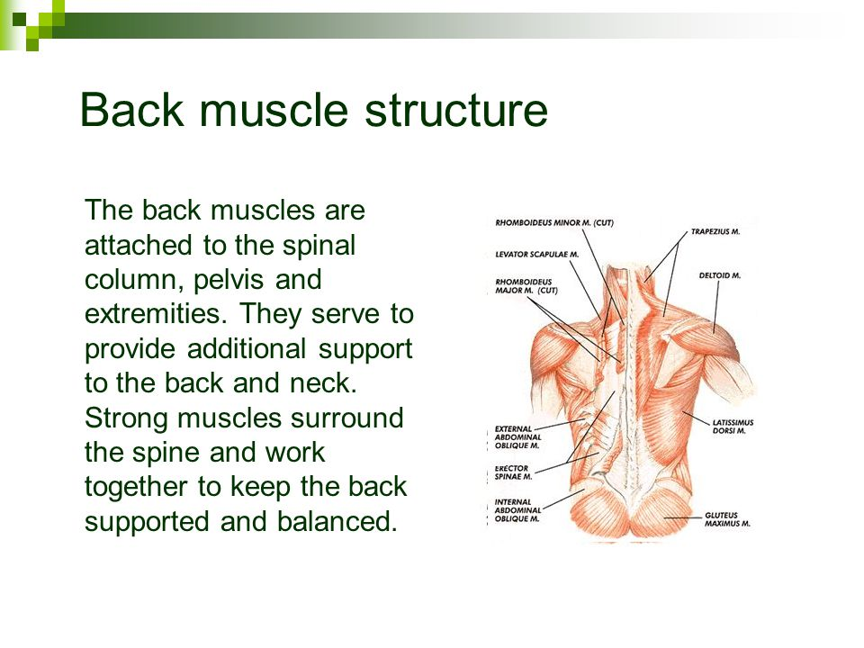 Back muscle structure