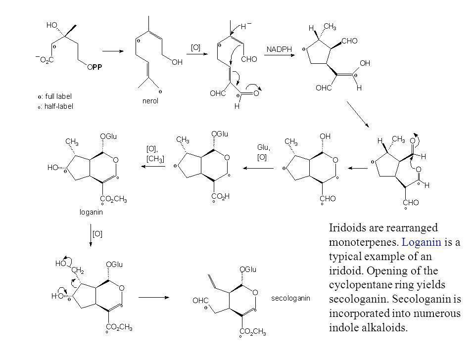 Iridoids are rearranged monoterpenes