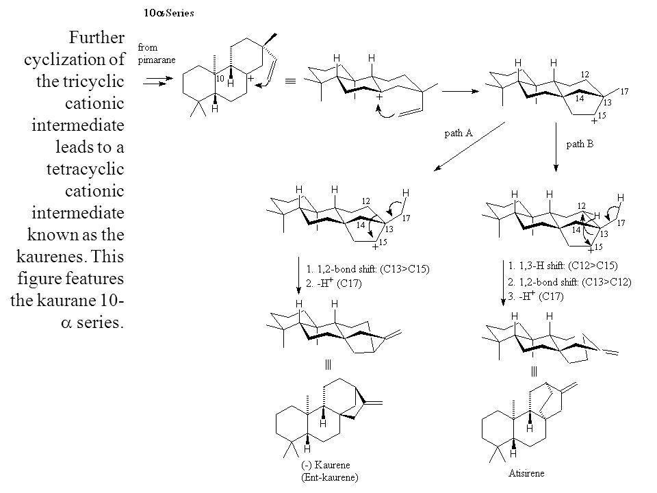 Further cyclization of the tricyclic cationic intermediate leads to a tetracyclic cationic intermediate known as the kaurenes.