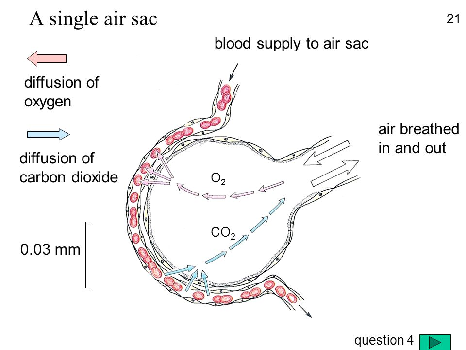 A single air sac blood supply to air sac diffusion of oxygen