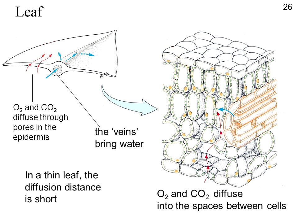 Leaf the 'veins' bring water In a thin leaf, the diffusion distance