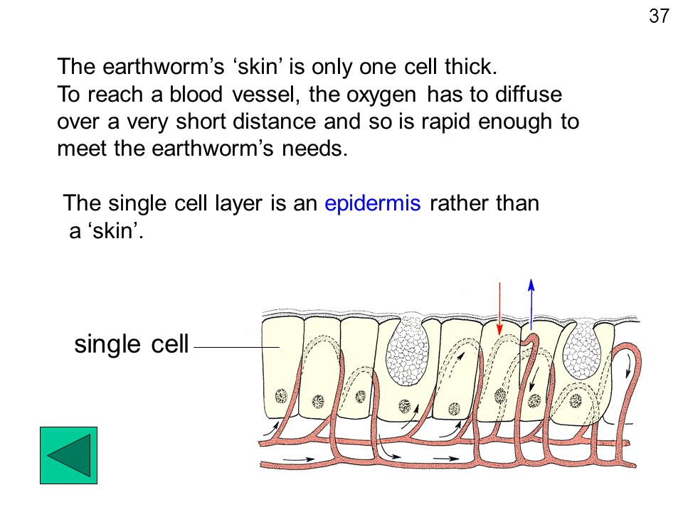 single cell The earthworm's 'skin' is only one cell thick.