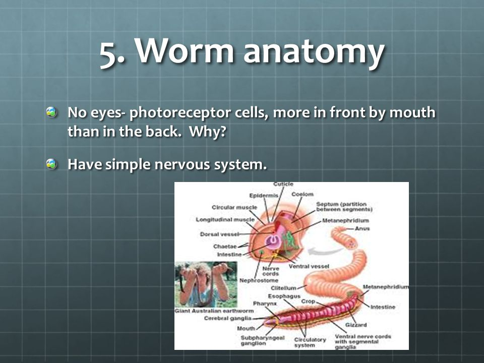 5. Worm anatomy No eyes- photoreceptor cells, more in front by mouth than in the back.