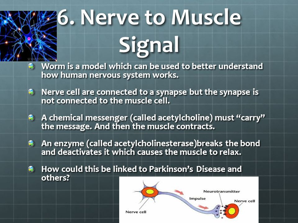 6. Nerve to Muscle Signal Worm is a model which can be used to better understand how human nervous system works.