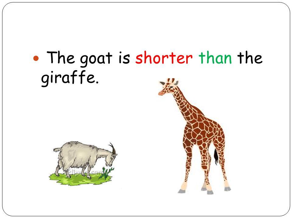 The goat is shorter than the giraffe.