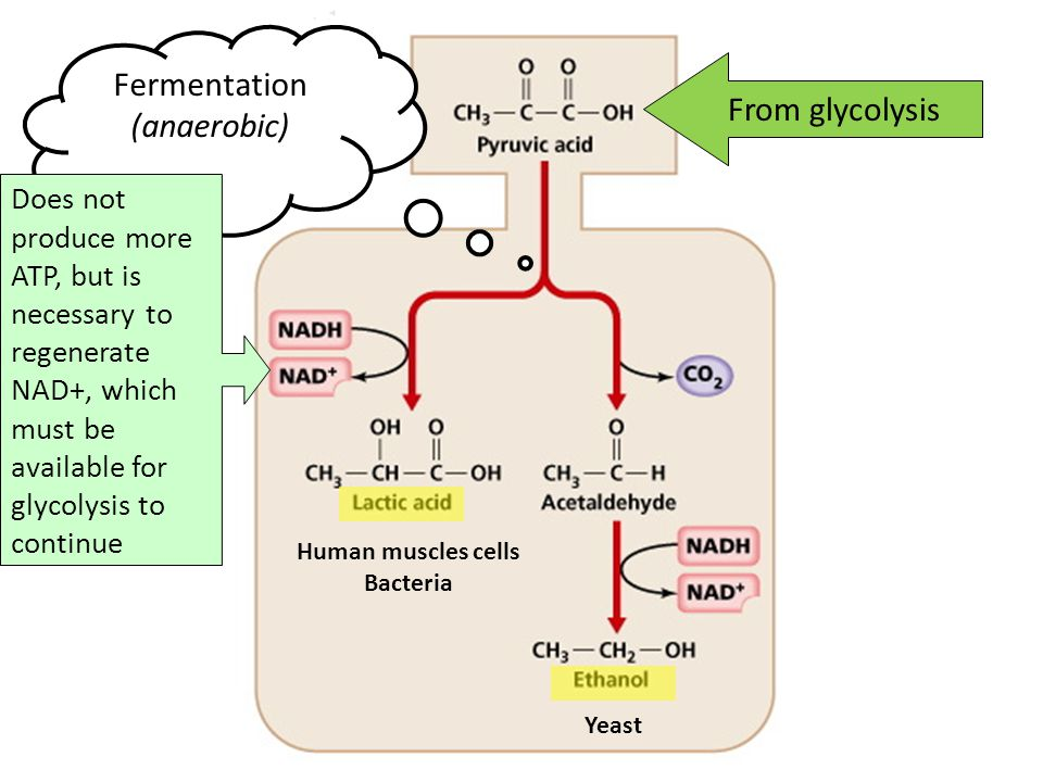 Fermentation (anaerobic) From glycolysis