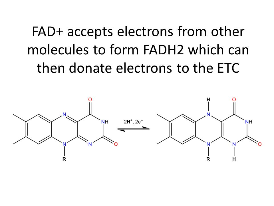 FAD+ accepts electrons from other molecules to form FADH2 which can then donate electrons to the ETC